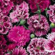Dianthus chinensis Double Mix - indian Pinks - Appx 900 seeds